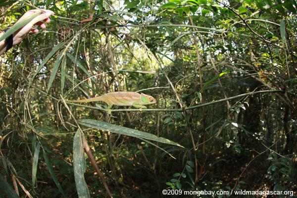 O'Shaughnessy's Chameleon (Calumma oshaughnessyi) in the Ranomafana forest