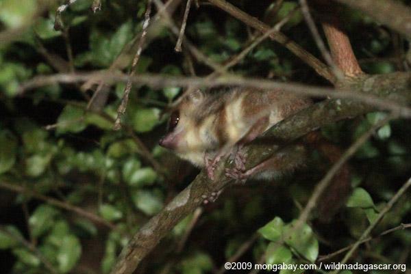 Microcebus rufus (Brown mouse lemur)