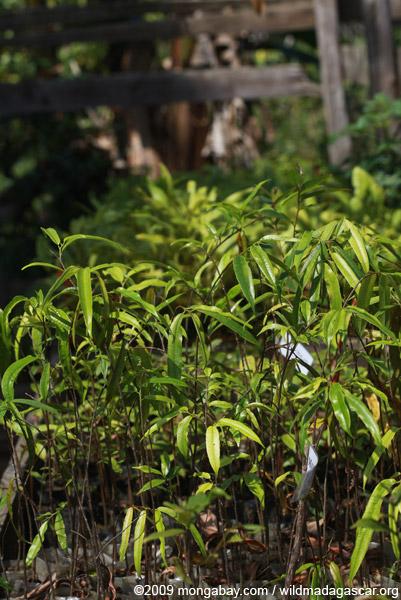 Seedlings in a nursery for reforestation