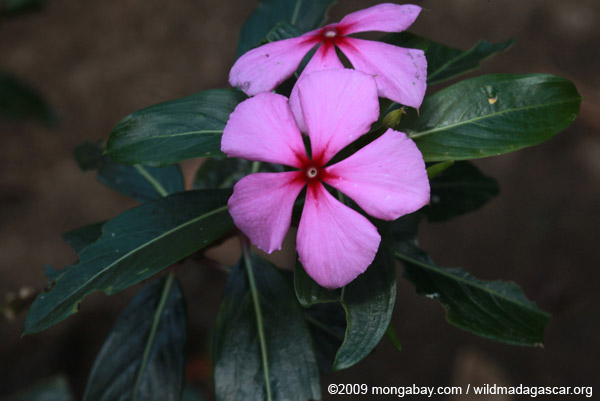 Rosy periwinkle (Catharanthus roseus), the source of vinblastine and vincristine, compounds used to treat Hodgkin's disease, childhood leukemia, and testicular cancer