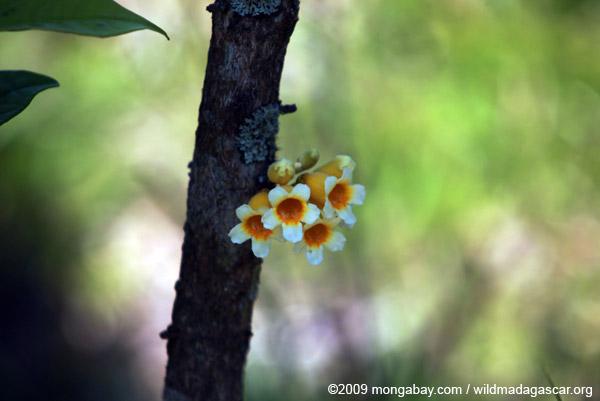 Yellow and white flowers of Ophiocolea floribunda