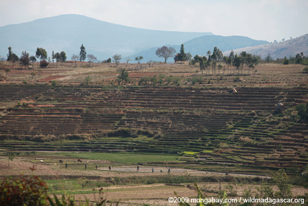 Terraced rice fields near Fianarantsoa