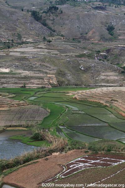 Terraced rice fields with zebu cattle near Fianarantsoa