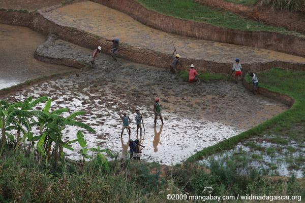 Working the rice fields near Fianarantsoa