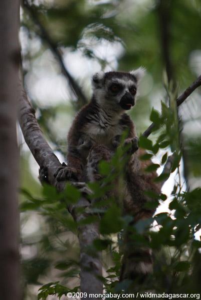 Ring-tail lemur licking its lips