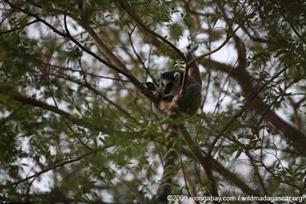 Ring-tail lemur licking its penis