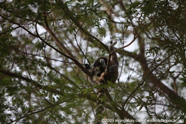 Ring-tail lemur licking its balls