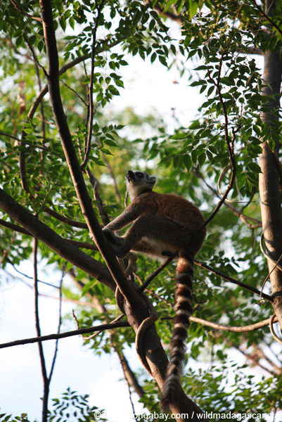 Ring-tail lemur in the forest canopy