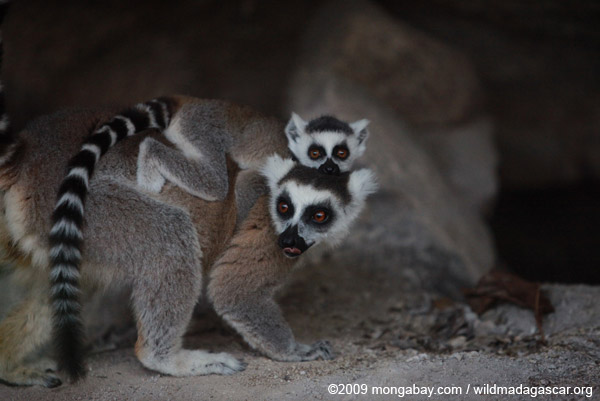 Like ancient humans, some lemurs slumber in caves