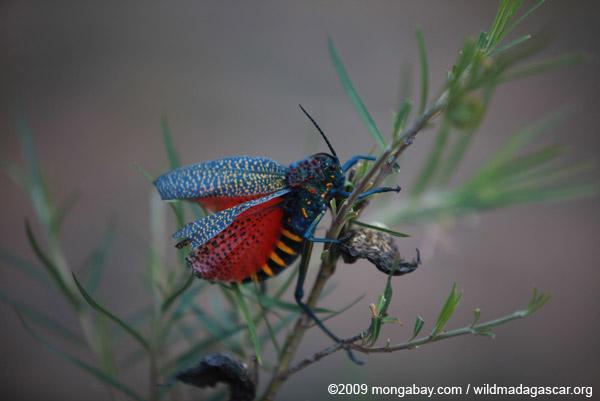 Giant Milkweek Locust