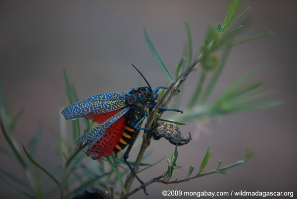Rainbow Bush Locust (Phymateus saxosus)