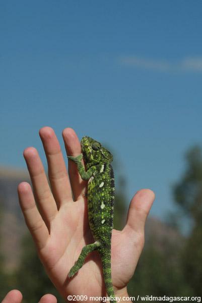 Carpet Chameleon (Furcifer lateralis)
