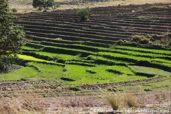 Emerald rice fields