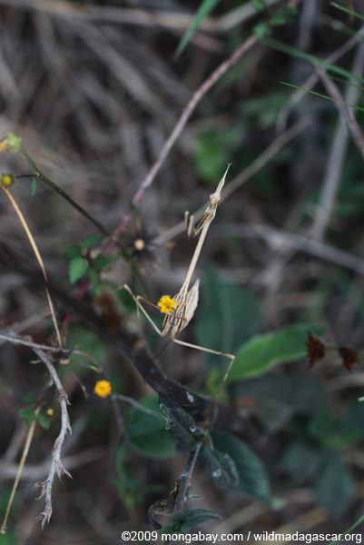 Dry grass-colored mantid (possibly Idolomorpha madagascariensis [Empusidae])