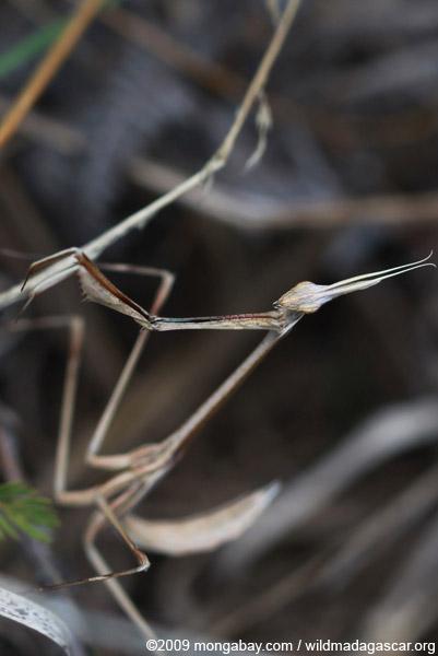 Dry grass-colored mantis (headshot) (possibly Idolomorpha madagascariensis [Empusidae])