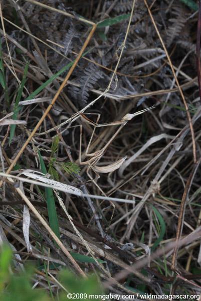 Dry grass-colored mantis (possibly Idolomorpha madagascariensis [Empusidae])