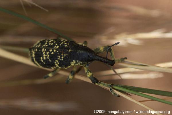 Yellow-speckled Cleonine weevil (genus Lixus - Curculionidae family)