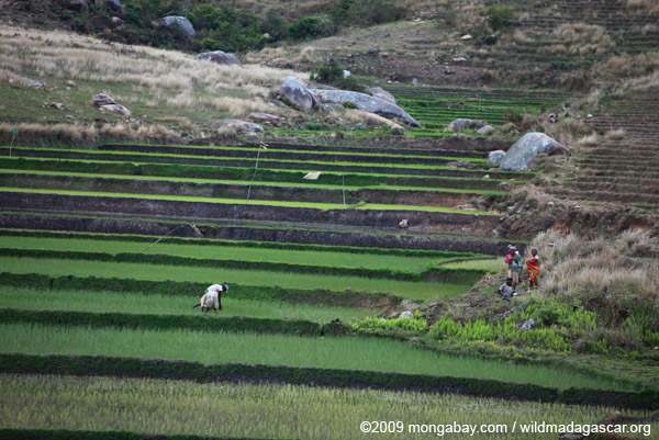 Working the rice fields in the Antanifotsy Valley