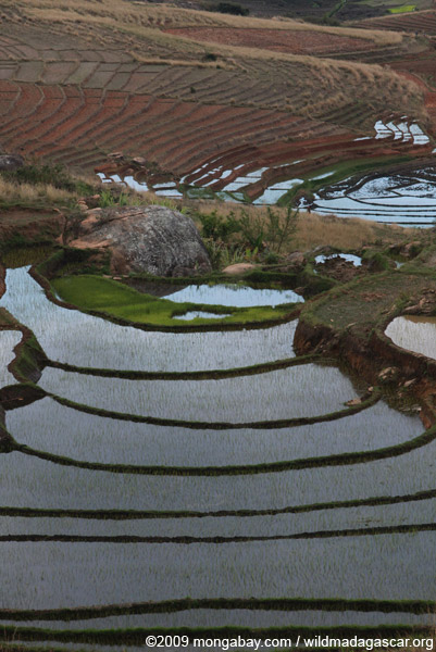 Flooded terraced rice fields in the Antanifotsy Valley