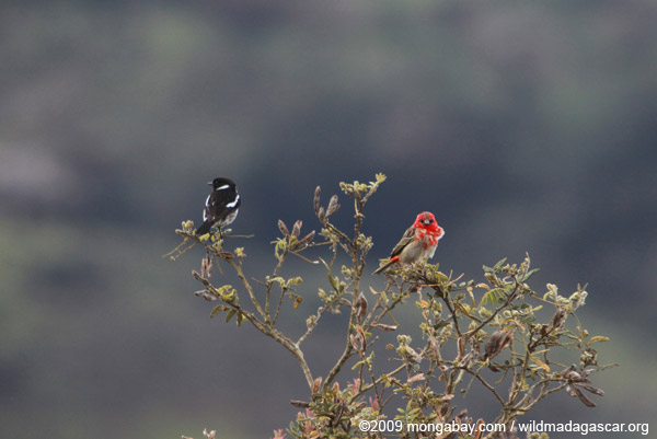 Red fody and magpie robin