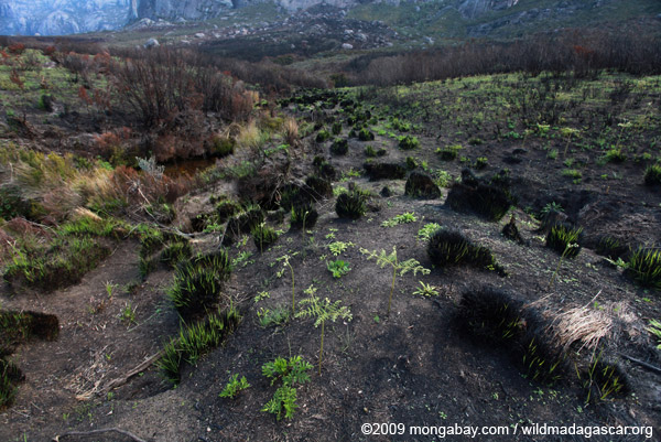 Ferns emerging from charred earth