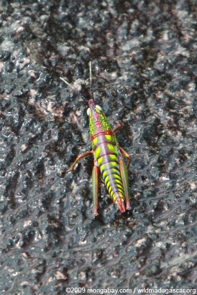 Neon green, turquoise, purple, red, and orange grasshopper