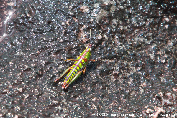 Brilliantly colorful grasshopper