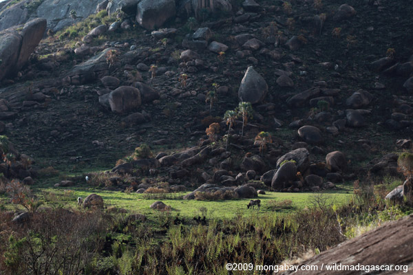 Cattle grazing on the edge of Andringitra