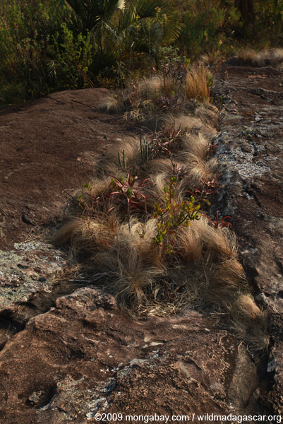 Andringitra vegetation