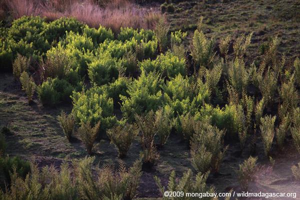 Ferns glinting in the sun