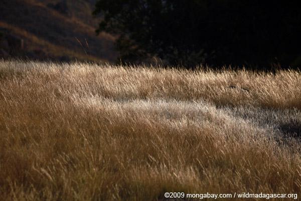 Andringitra grassland