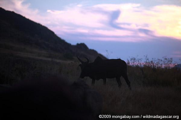 Zebu bull at sunset