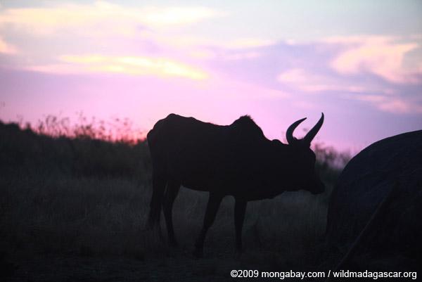 Zebu bull at sunset in Madagascar