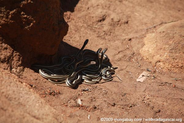 Mass of snakes (Dromicodryas bernieri)