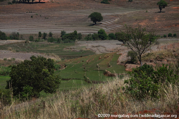 Rice fieds in the Antanifotsy Valley