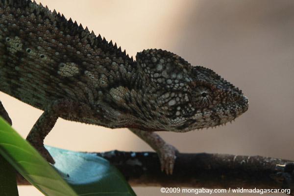 Madagascar giant chameleon (Furcifer oustaleti)