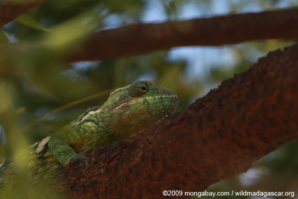 Green Madagascar giant chameleon (Furcifer oustaleti)