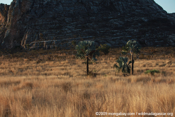 Fire-resistant Bismarck Palms (Bismarckia nobilis) near Isalo