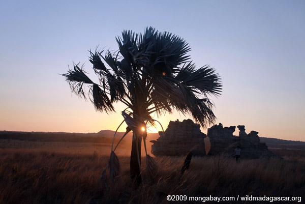 Bismarck Palm (Bismarckia nobilis) at sunset