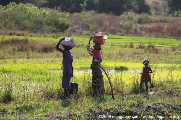 Malagasy women working in rice fields near Isalo