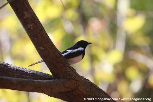 Madagascar magpie robin