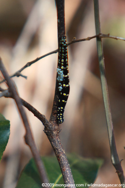 Black caterpillar with yellow spots
