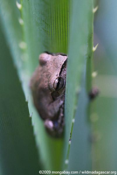 Mantidactylus corvis frog