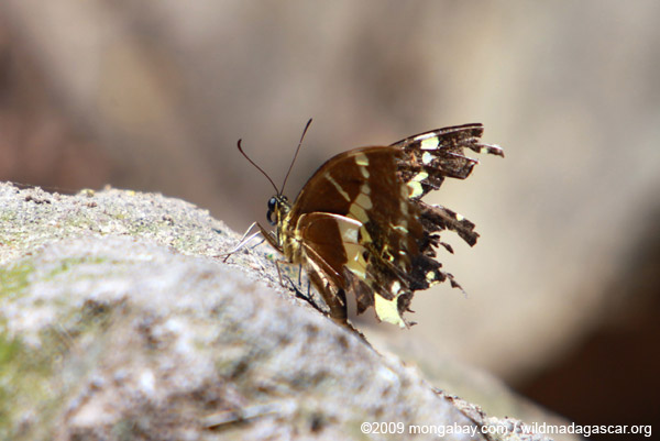Ragged-looking butterfly