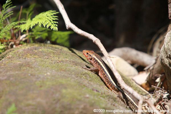 Zonosaurus lizard