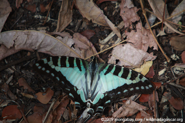 Green-blue swallow-tail butterfly