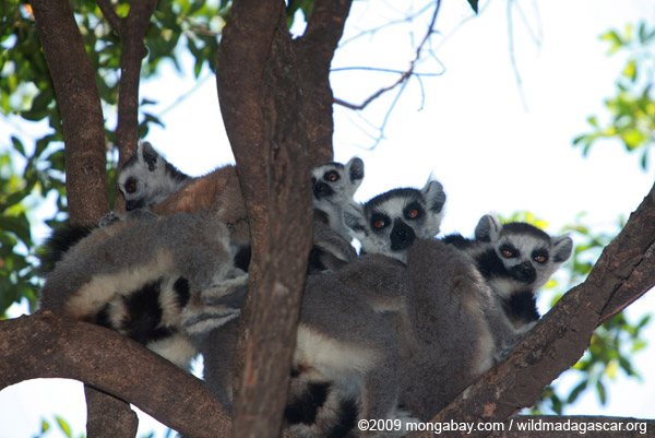 Family of ring-tail lemurs (including babies)