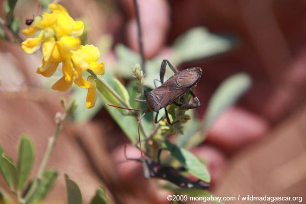Coreidae bug with red antenna