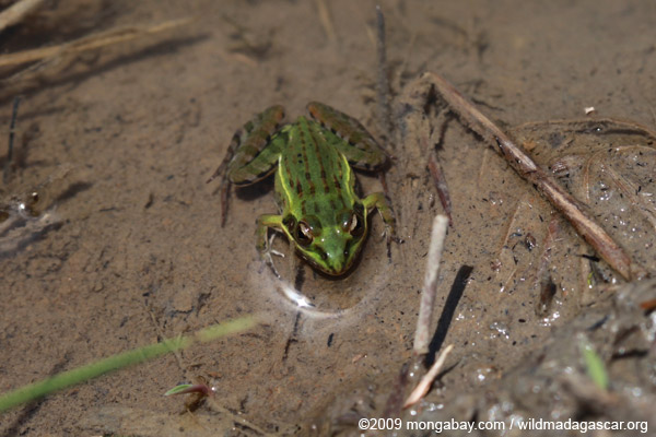 Mascarene Ridged Frog (Ptychadena mascareniensis)