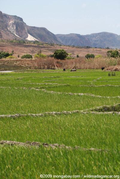 Rice paddies near Isalo
